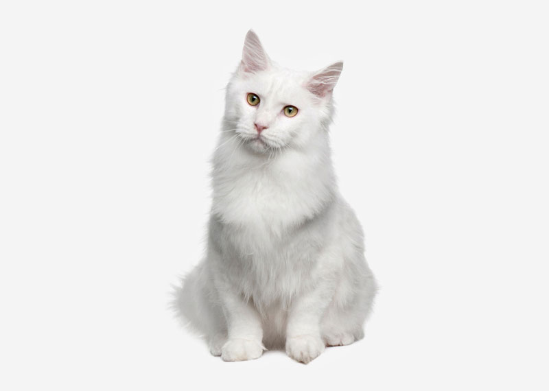 Turkish Angora - 1