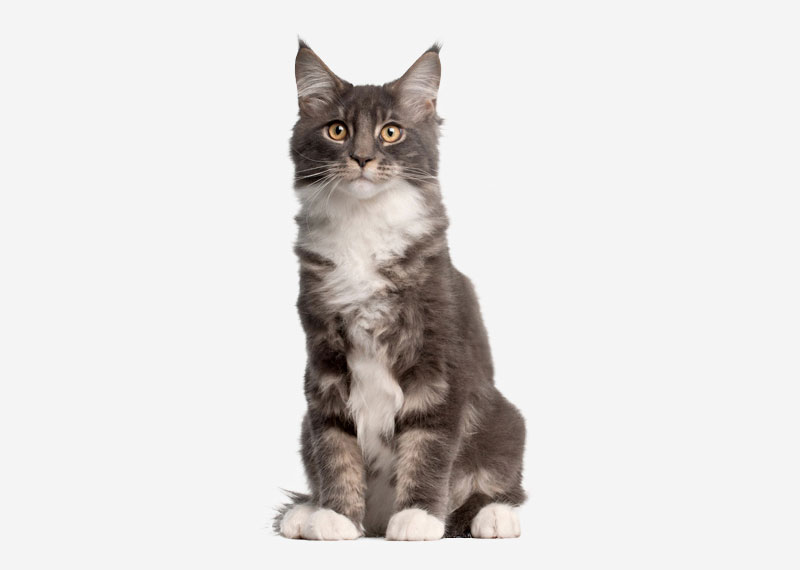 Maine Coon - 9