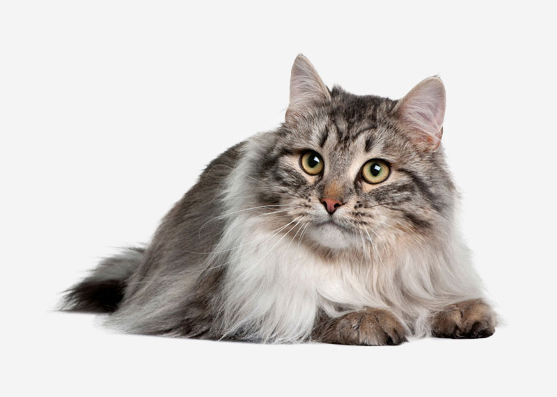 Norwegian Forest Cat - 2