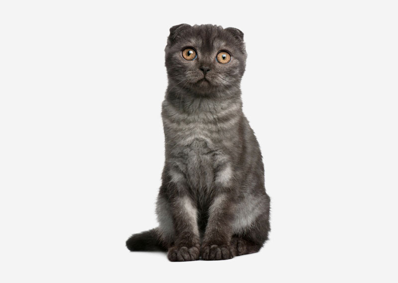 Scottish Fold - 3