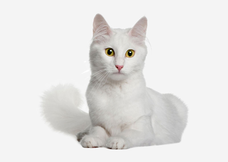 Turkish Angora - 2