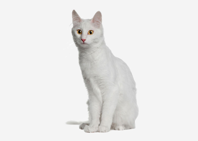 Turkish Angora - 3