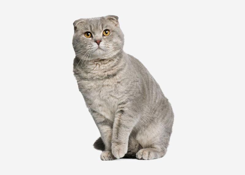 Scottish Fold - 4