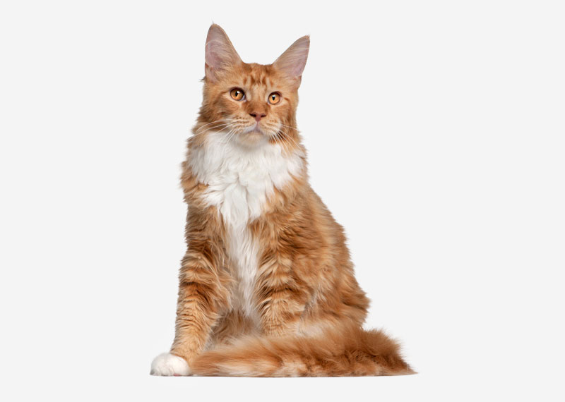 Maine Coon - 17