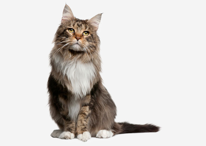 Maine Coon - 18