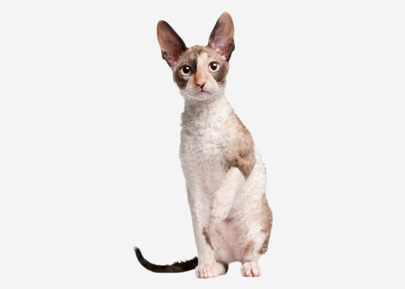 Cornish Rex - 1