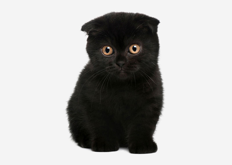 Scottish Fold - 9