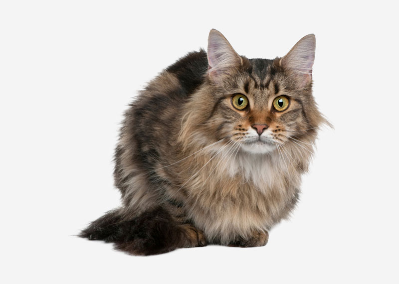Norwegian Forest Cat - 7