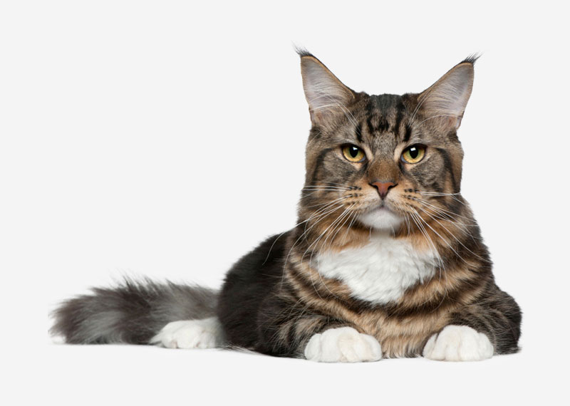 Maine Coon - 21