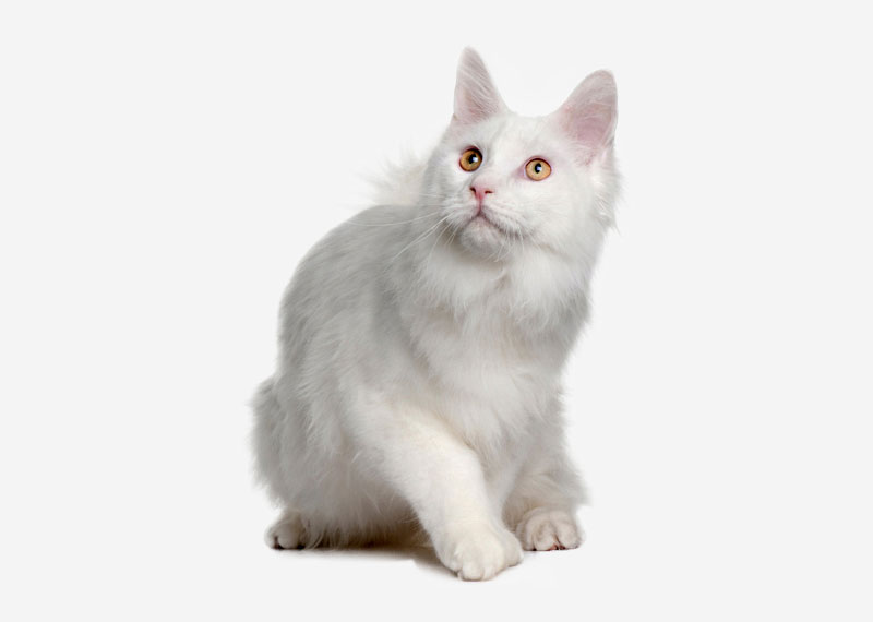 Turkish Angora - 5