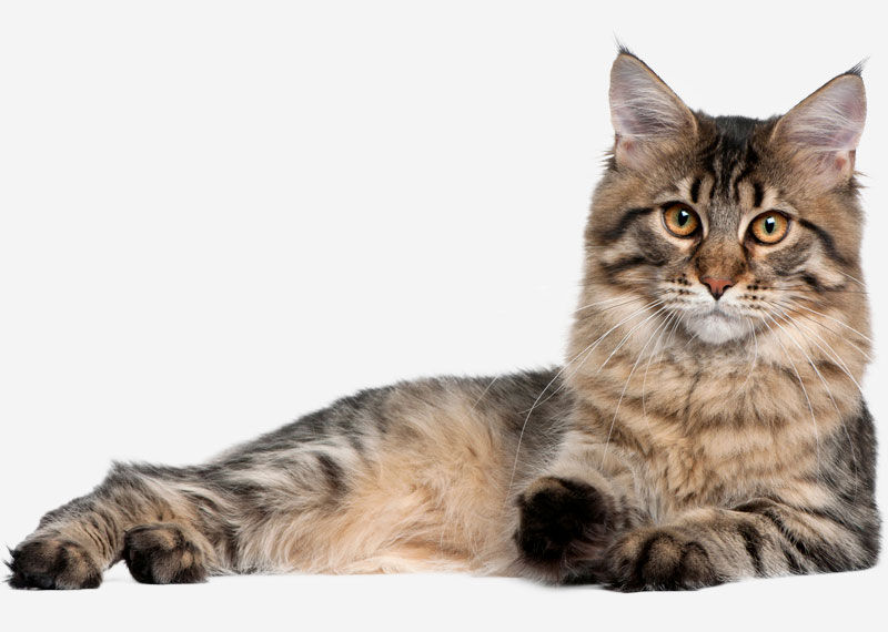 Maine Coon - 23