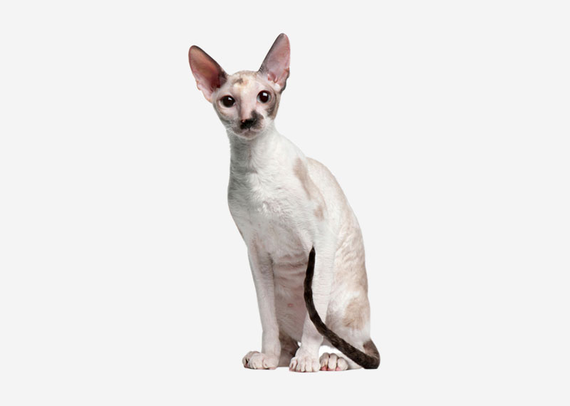 Cornish Rex - 2