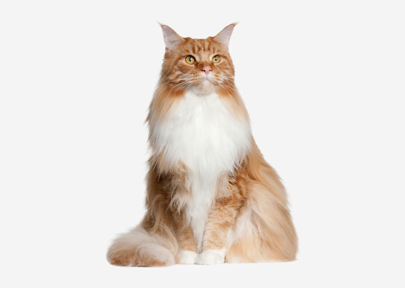 Maine Coon - 2