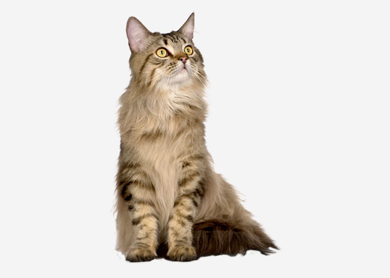 Maine Coon - 1