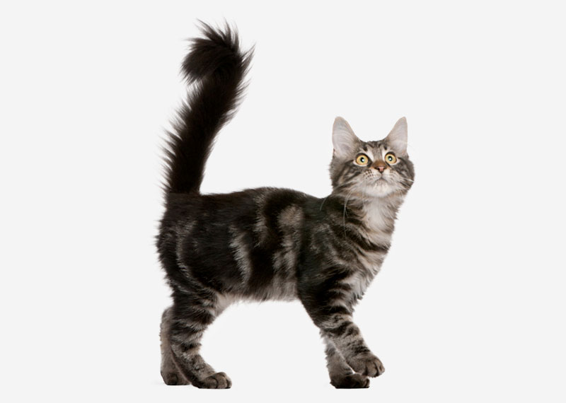 Maine Coon - 3