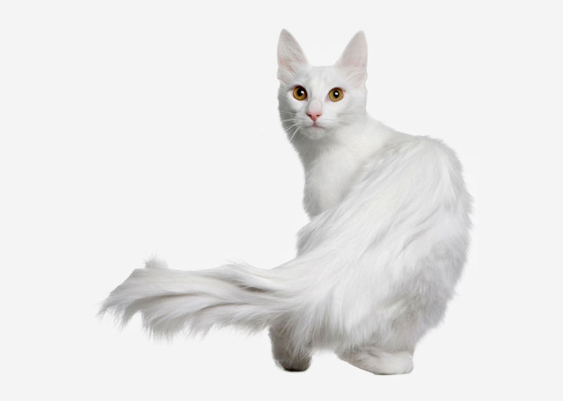 Europetnet Turkish Angora