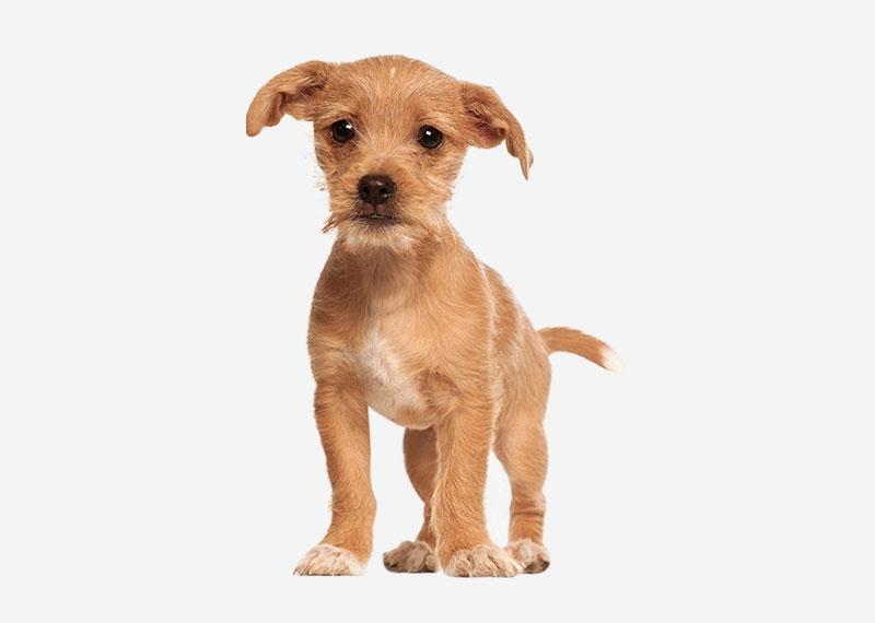 Home > Resources > Dog breeds > Portuguese Podengo