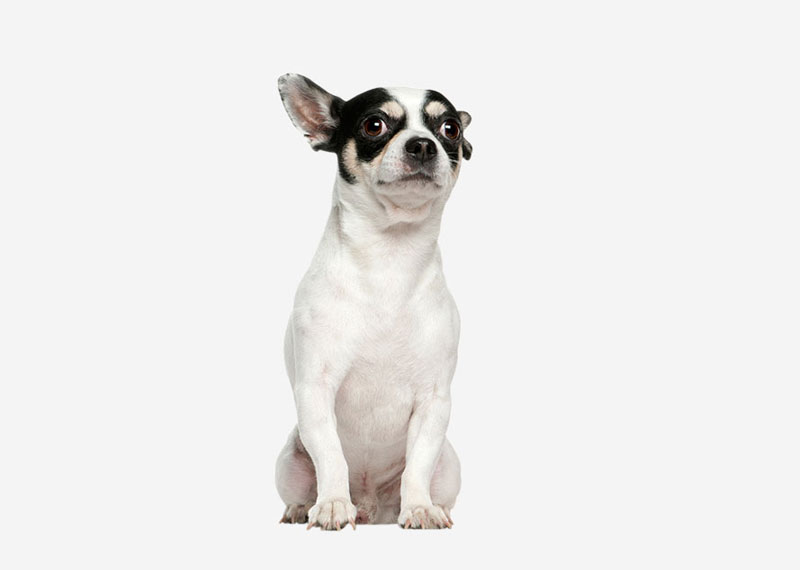 theories on the origin of techichi Several theories seem to indicate that spanish traders may have  possibly the mexican hairless dog or techichi,  the chihuahua first came to be known.