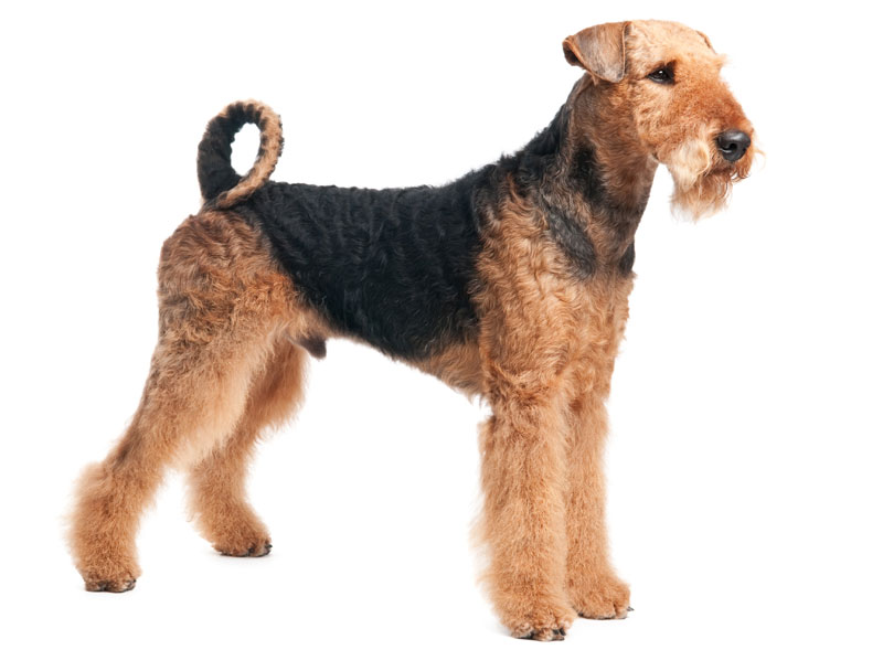 Airedale Terrier In National Dog Show
