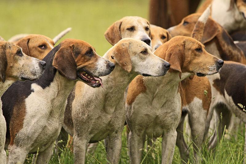 Europetnet - American Foxhound