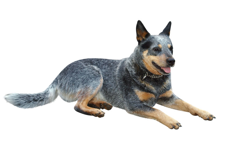 Red Cattle Dog Cross