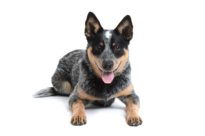 Cattle Dog In Planes Trains And Automobiles