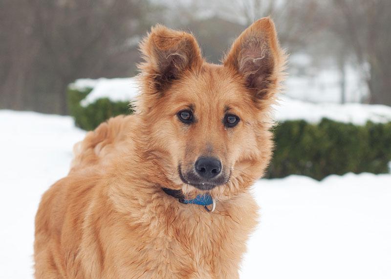 Europetnet Basque Shepherd Dog