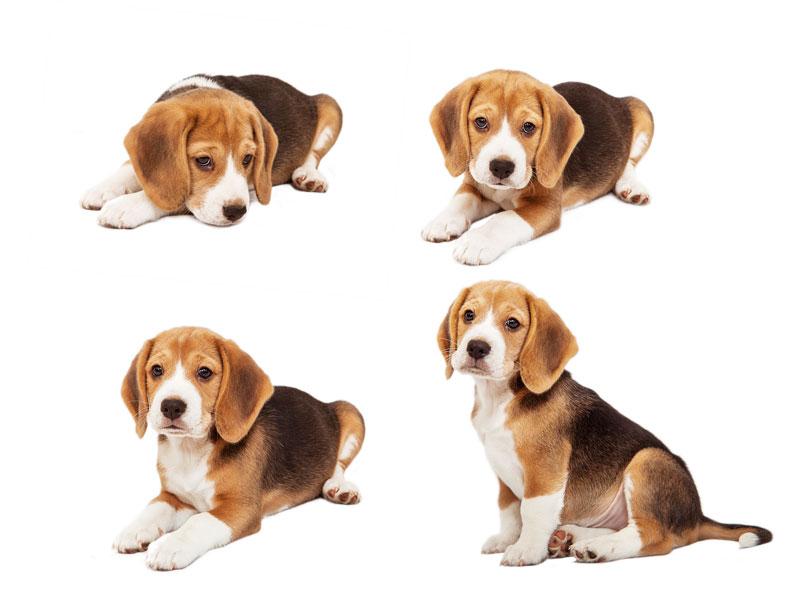 نژاد بیگل سگ