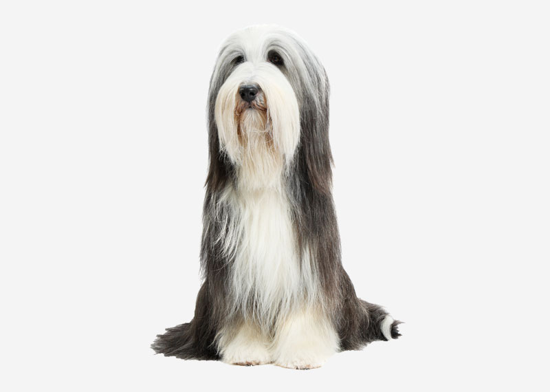 Europetnet Bearded Collie