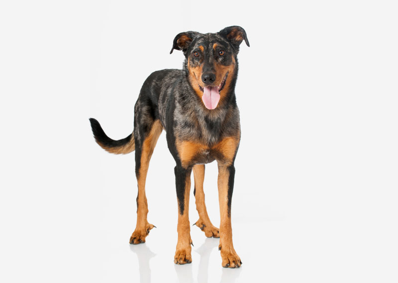 Dog Breeds With  Dew Claws