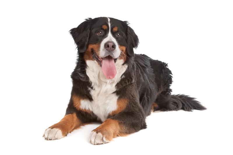 europetnet bernese mountain dog