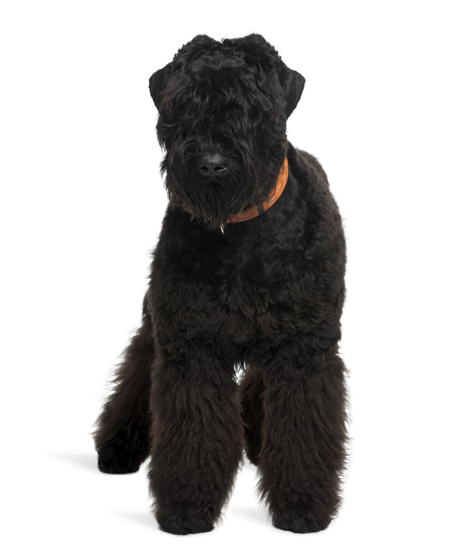 Pictures Of Black Russian Terrier Dogs