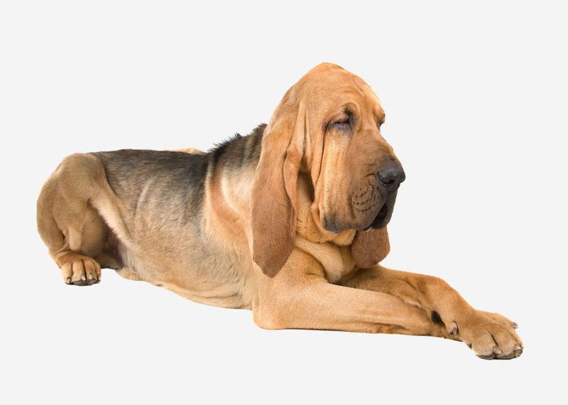 Large Dog Hounds Breeds
