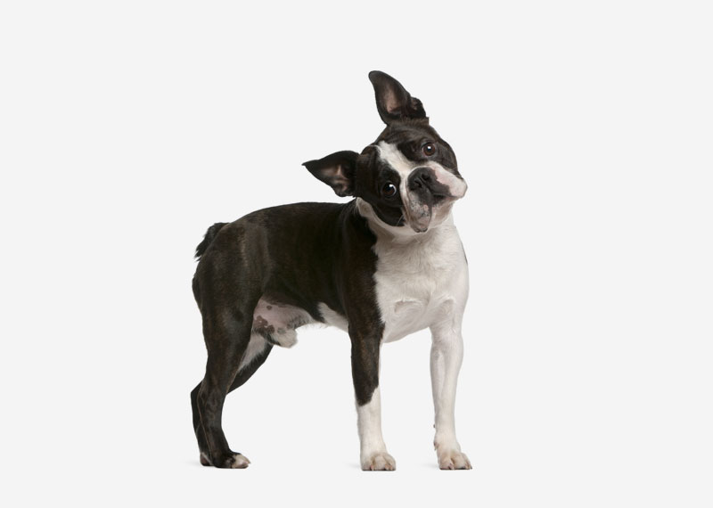 Europetnet - Boston Terrier