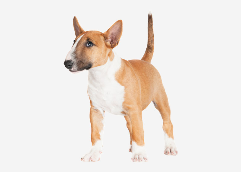 Bull Terrier (Miniature)