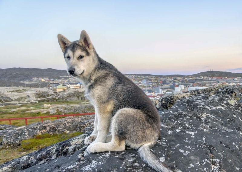 europet    greenland dog