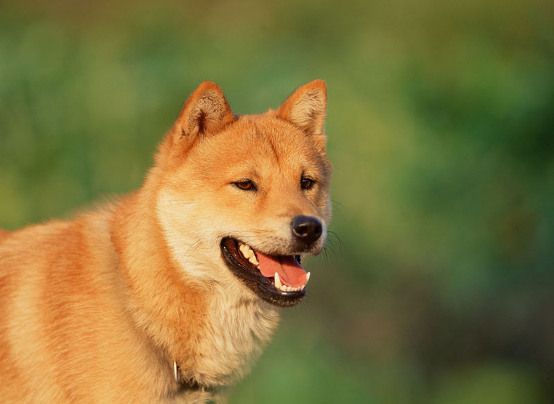 Korean Jindo Dog
