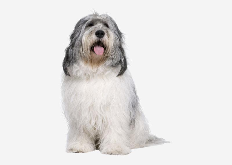 all dog breeds Polish Lowland Sheepdog.